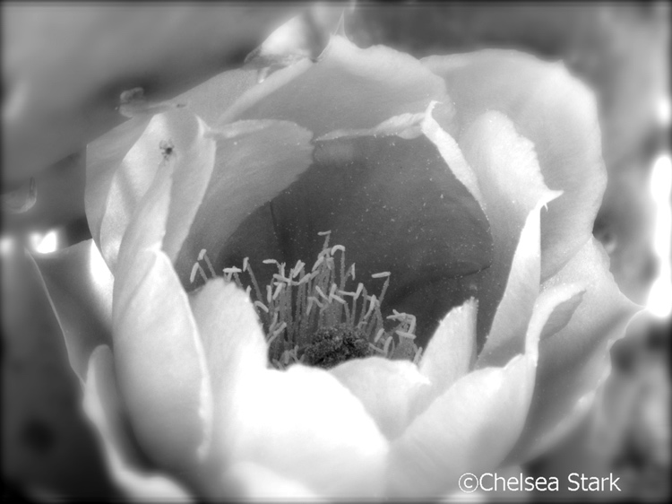 Black and white ffowers cactus flowers study 2 mightylinksfo